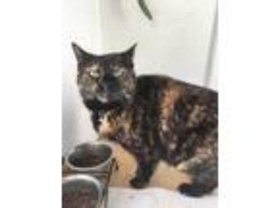Adopt Maggie a Spotted Tabby/Leopard Spotted Domestic Mediumhair / Mixed cat in