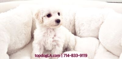 Poodle (Standard)-Maltese Mix PUPPY FOR SALE ADN-75518 - Maltipoo Female Hawaii