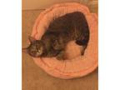 Adopt Killian a Gray, Blue or Silver Tabby Domestic Shorthair cat in Olney