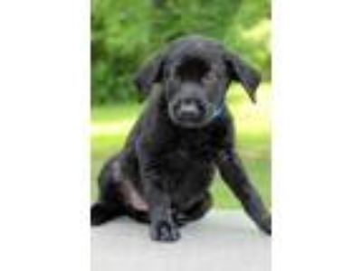 Adopt Charming a Black Labrador Retriever / Mixed dog in Waldorf, MD (25650598)