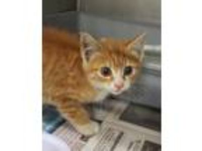Adopt Kevlar a Orange or Red Domestic Shorthair / Domestic Shorthair / Mixed cat