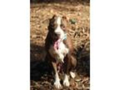 Adopt Honey a Brown/Chocolate - with White American Pit Bull Terrier dog in