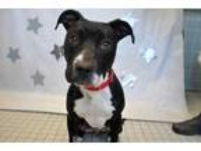 Adopt Stella a Black Terrier (Unknown Type, Small) / Mixed dog in Wantagh