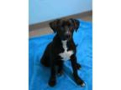 Adopt Trumpet a Black Terrier (Unknown Type, Small) / Mixed dog in South Elgin