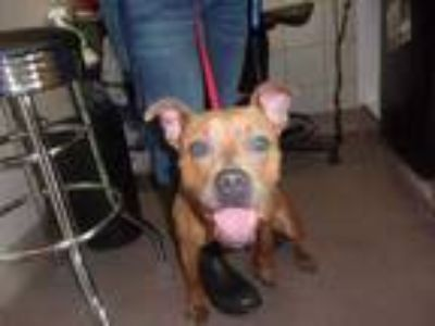 Adopt 42221813 a Tan/Yellow/Fawn American Pit Bull Terrier / Mixed dog in