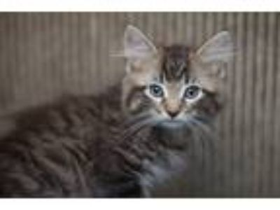 Adopt Niffler a Tiger Striped Domestic Longhair (long coat) cat in Oneonta
