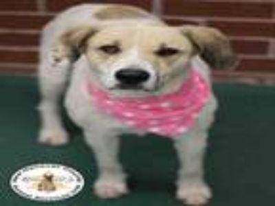 Adopt A395186 a Great Pyrenees, Treeing Walker Coonhound