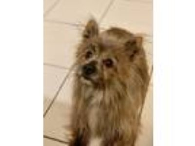 Adopt Toto a Terrier (Unknown Type, Small) / Corgi dog in Columbus