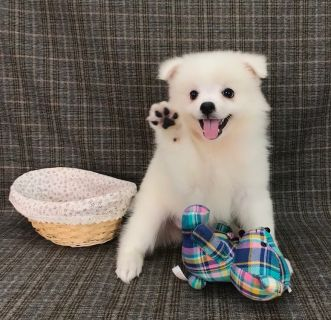 Japanese Spitz PUPPY FOR SALE ADN-97623 - Spitz the SMARTEST small dog  LA SF SD SEA NY CHI