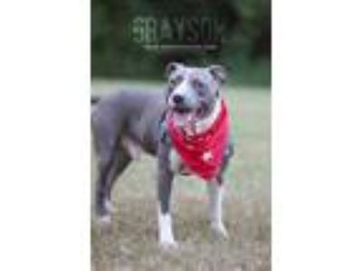 Adopt Grayson a Gray/Blue/Silver/Salt & Pepper American Pit Bull Terrier / Mixed