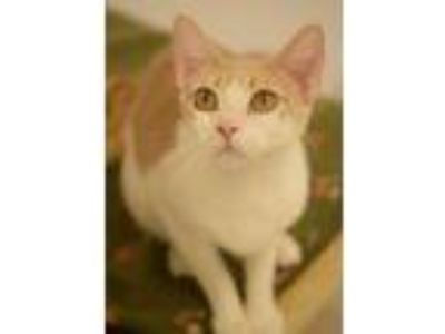 Adopt Drax a Cream or Ivory (Mostly) Domestic Shorthair / Mixed (short coat) cat