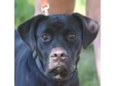 Adopt Carol a Black - with White Labrador Retriever / Border Collie / Mixed dog