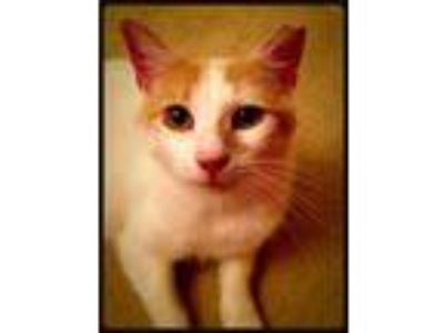 Adopt Miss Kitty a American Shorthair