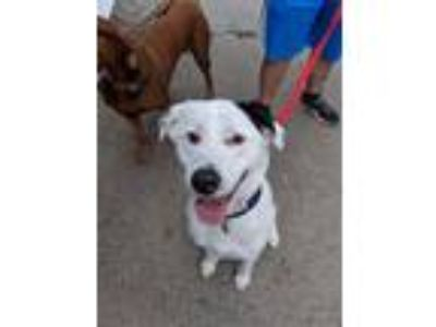 Adopt Charlie a Labrador Retriever, Border Collie
