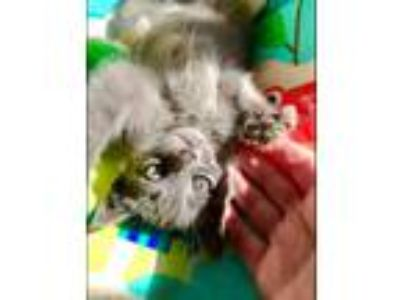 Adopt Starla a Gray or Blue Russian Blue (medium coat) cat in Modesto