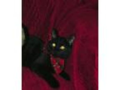 Adopt Abner a Domestic Medium Hair