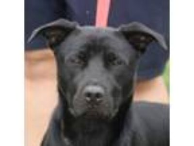 Adopt Wyatt Earp a Black - with White Labrador Retriever / Rottweiler / Mixed