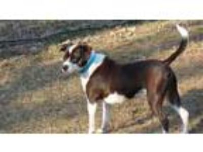 Adopt MJ a Boston Terrier, Beagle