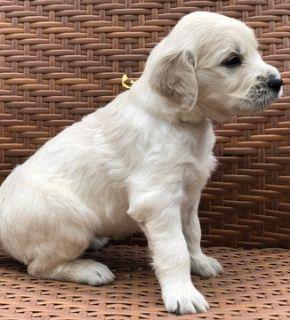 English Cream Golden Retriever  PUPPY FOR SALE ADN-92460 - English Cream Golden Retriever Puppies