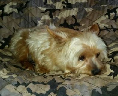 Yorkshire Terrier PUPPY FOR SALE ADN-91451 - AKC Yorkshire Terrier Female