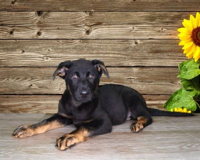 Martin is a sweet male German Shepherd! Ask us about our puppy payments!