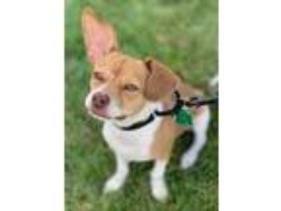 Adopt Willie a White Beagle / Terrier (Unknown Type, Small) / Mixed dog in