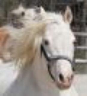 Star Morgan - Arabian Horse