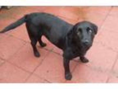 Adopt Salem a Labrador Retriever