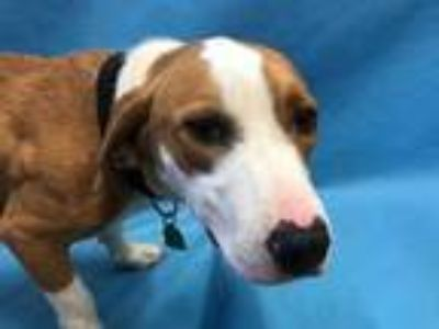 Adopt Duke a Tan/Yellow/Fawn Basset Hound / American Pit Bull Terrier / Mixed