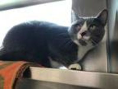 Adopt SMUCKY a Domestic Short Hair