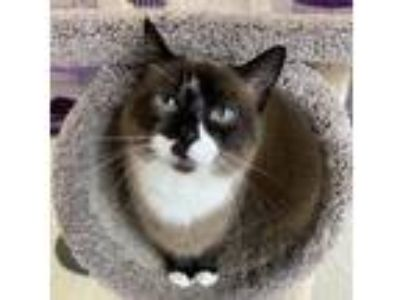 Adopt LILAH a Brown or Chocolate (Mostly) Siamese / Mixed (short coat) cat in