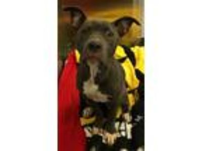 Adopt Monkey a American Staffordshire Terrier / Mixed dog in Pittsburgh