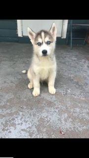 Siberian Husky PUPPY FOR SALE ADN-91025 - Siberian husky 650