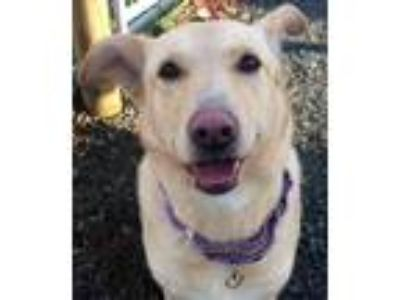 Adopt Juliet a Tan/Yellow/Fawn - with White Labrador Retriever / Shepherd