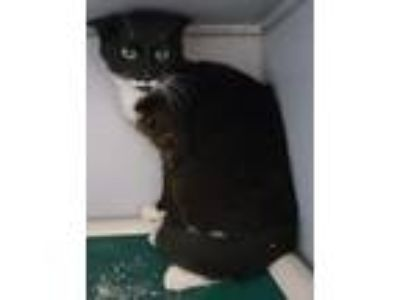 Adopt Onyx a Black & White or Tuxedo Domestic Shorthair (short coat) cat in