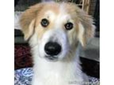 Adopt Poppy in OK - new pup! a White - with Red, Golden, Orange or Chestnut