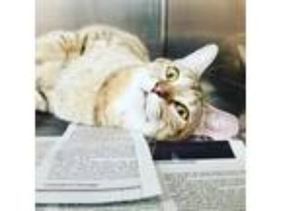 Adopt Tigress a Domestic Shorthair / Mixed (short coat) cat in Utica