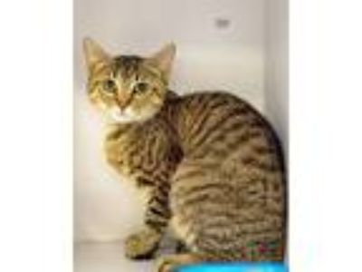 Adopt Breezy a Domestic Short Hair