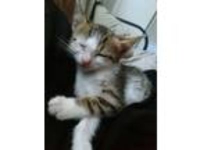 Adopt Thomasina a Spotted Tabby/Leopard Spotted American Shorthair / Mixed cat