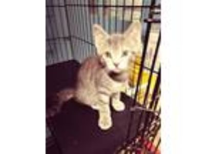 Adopt Cody a Gray, Blue or Silver Tabby Domestic Shorthair (short coat) cat in