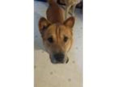 Adopt Rollie a Red/Golden/Orange/Chestnut Shar Pei / Mixed dog in Newton Falls