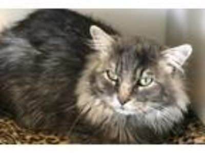 Adopt Royal a Domestic Longhair / Mixed (short coat) cat in Park City
