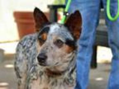 Adopt GUCCI a Australian Cattle Dog / Blue Heeler