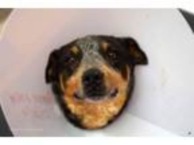 Adopt JACK* a Australian Cattle Dog / Blue Heeler