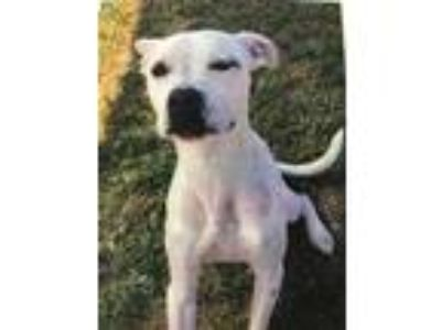Adopt ROBIN STRAVELING a White Boxer / Mixed dog in Tangent, OR (25812794)