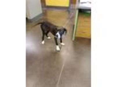 Adopt 13842 a Labrador Retriever / Border Collie / Mixed dog in Norman