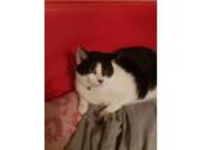 Adopt Sammy a Black & White or Tuxedo American Shorthair / Mixed cat in