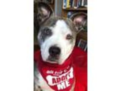 Adopt GRACIE a Brindle - with White American Staffordshire Terrier / Mixed dog