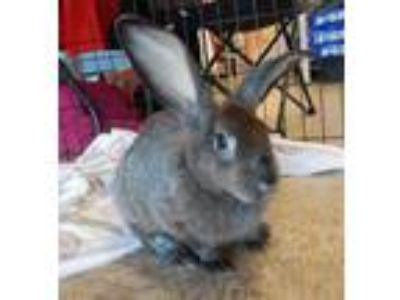 Adopt Aurora a Chocolate Chinchilla, Standard / Other/Unknown / Mixed rabbit in
