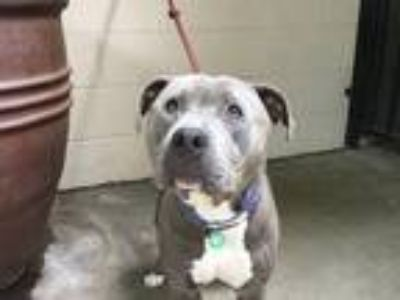 Adopt I1311937 a Gray/Blue/Silver/Salt & Pepper Pit Bull Terrier / Mixed dog in